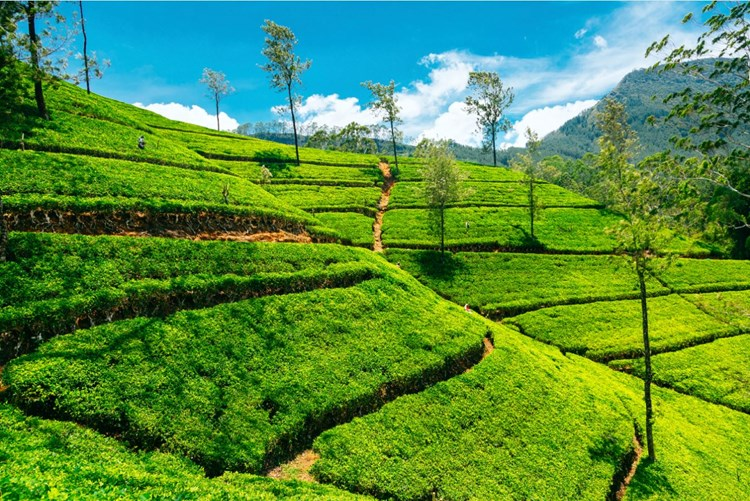 Tea plantation in Nuwara Eliya, Sri Lanka
