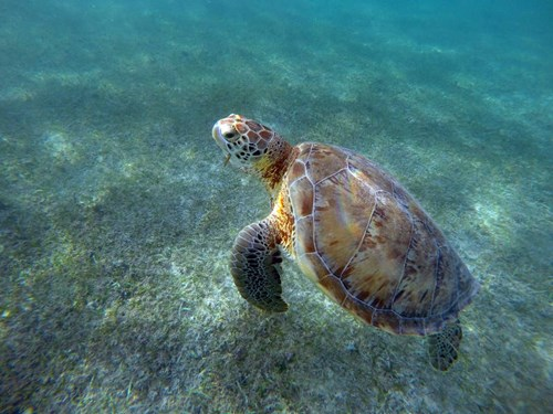 Sea turtle swimming in the water in Akumel Beach in Mexico
